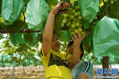 采摘葡萄农家乐