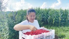 村里有个树莓经纪人